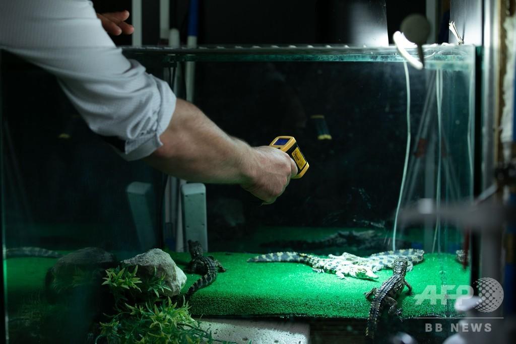 元気に育て、絶滅危惧種のワニの赤ちゃん 仏動物園が公開