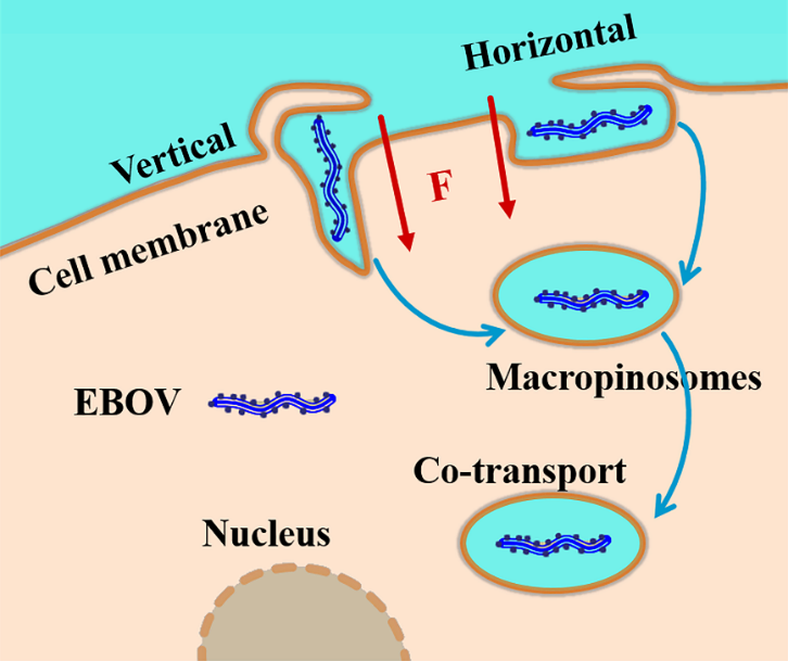 中国の研究者、エボラウイルスの細胞侵入プロセスを明らかに
