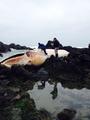 チリ北部でクジラの打ち上げ相次ぐ、昨年は南部で大量死