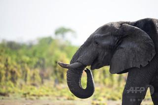 50歳超の「国宝級」巨大ゾウ、ドイツ人観光客が射殺 ジンバブエ