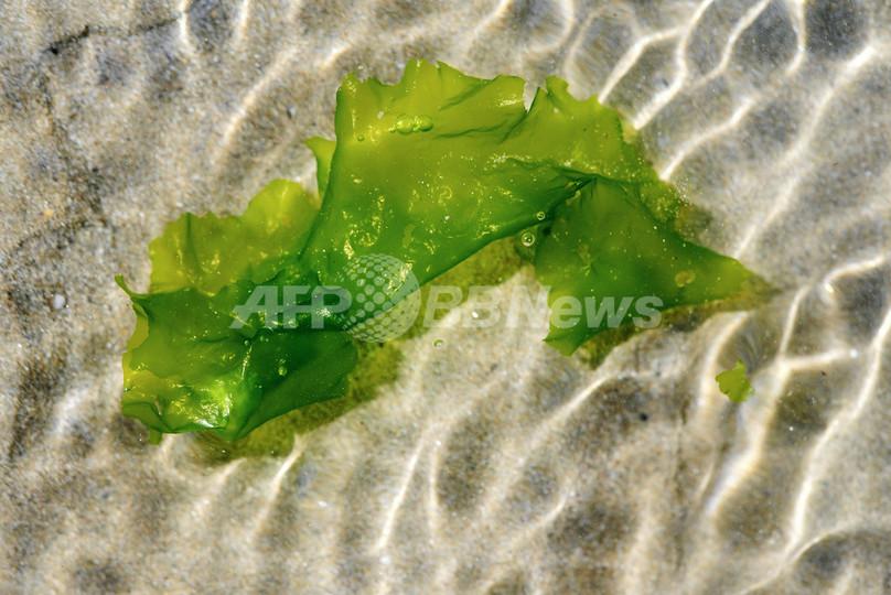腐敗した緑藻類が有毒ガス放出、意識不明も 仏北部沿岸