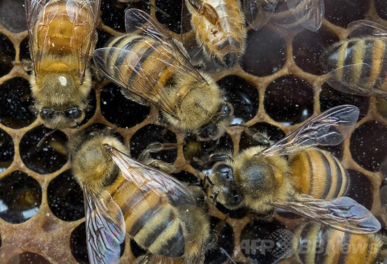 蚊対策でハチ200万匹死なす、自治体職員に有罪判決 ポーランド