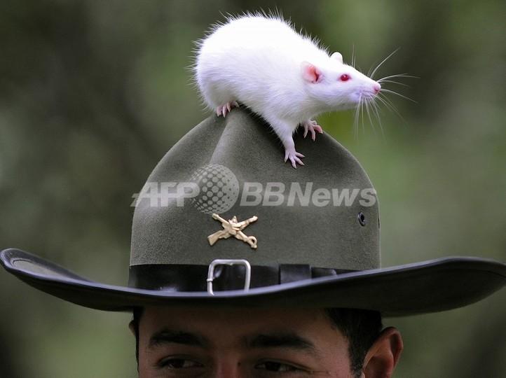 ネズミの意思決定力、人間と同程度? 米研究