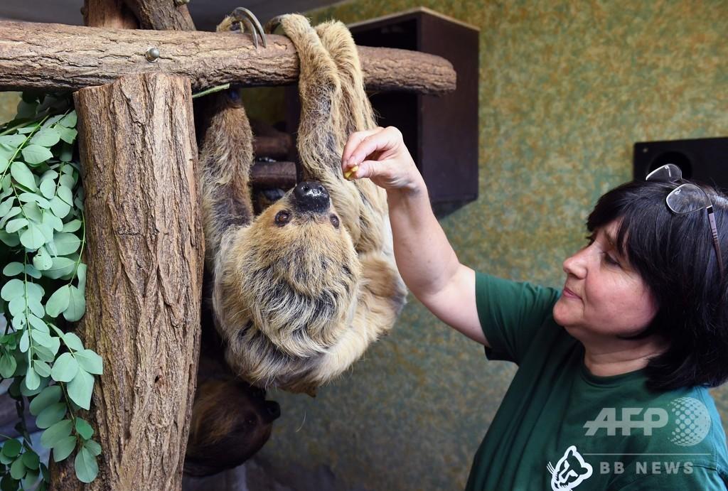 頑張ってます、世界最高齢50歳のナマケモノ 独