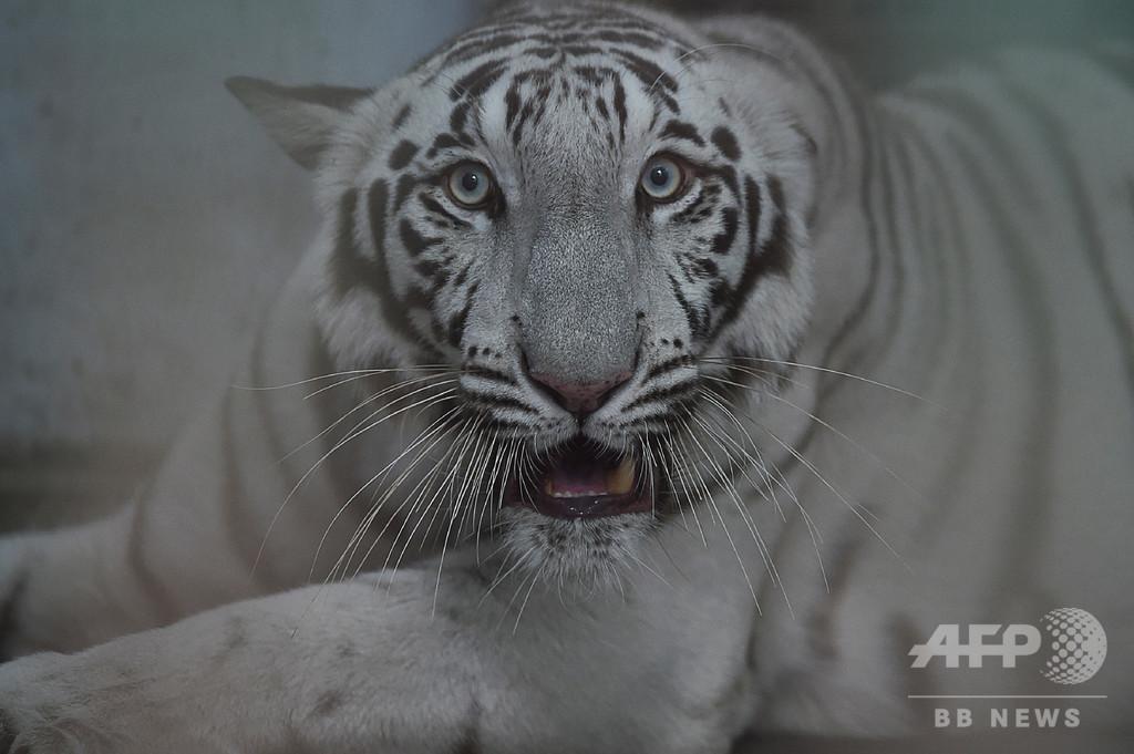 インド動物園でトラに「社会的距離」 交尾も制限
