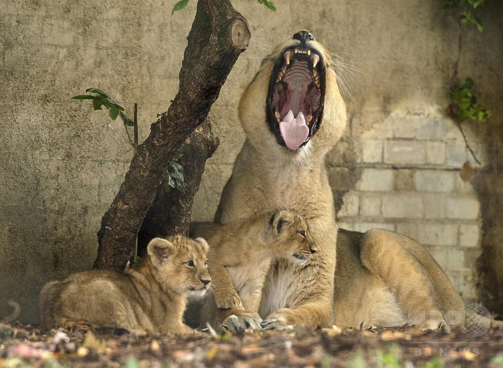 ライオン展示施設内に宿泊、予約受け付け開始 英動物園