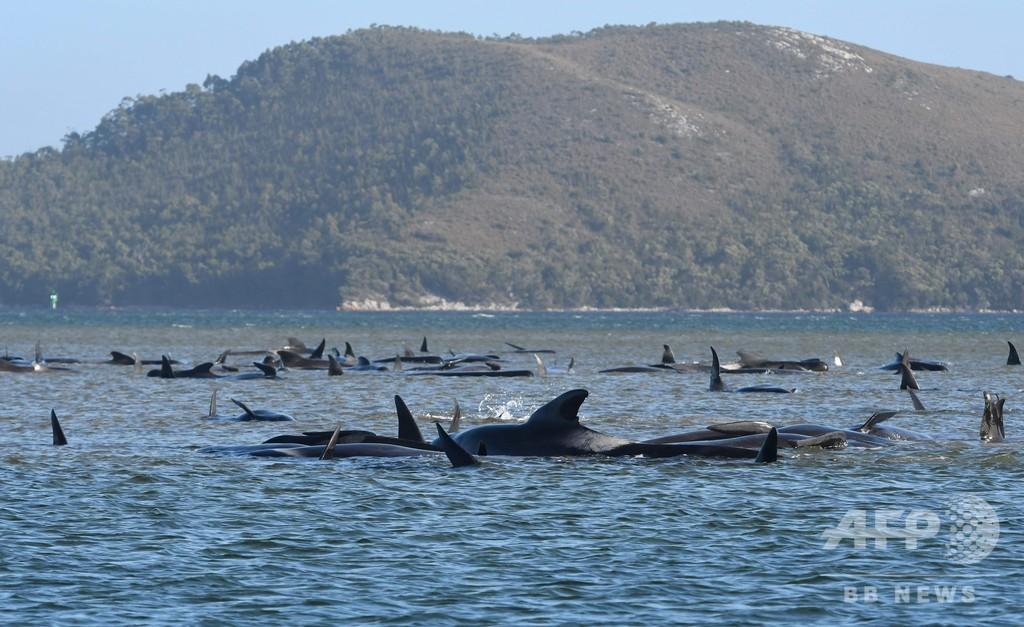 浅瀬でクジラ90頭死ぬ 残り180頭の救出「困難」 豪タスマニア島