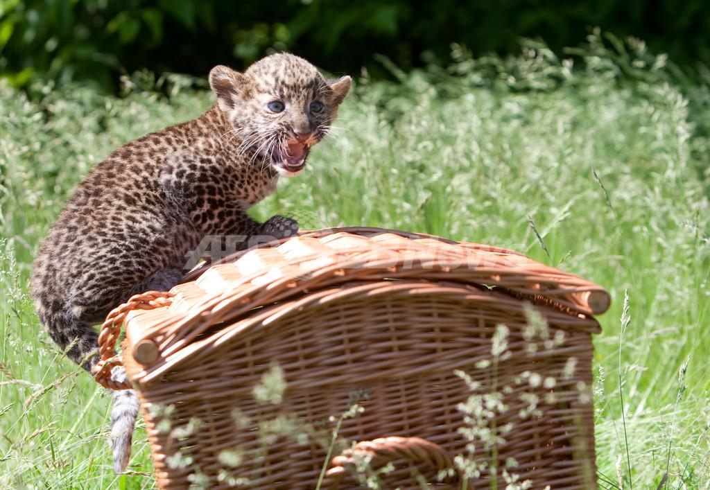 ジャワヒョウの赤ちゃんをお披露目、独ベルリンの動物園