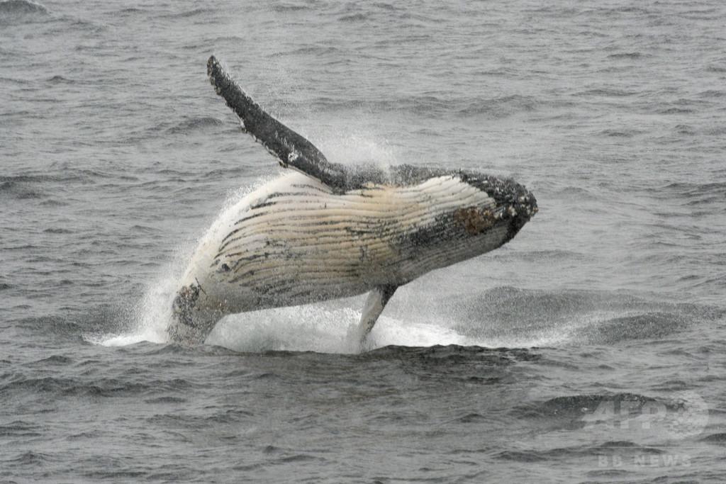 ザトウクジラが釣り舟に激突、4人負傷 豪沖