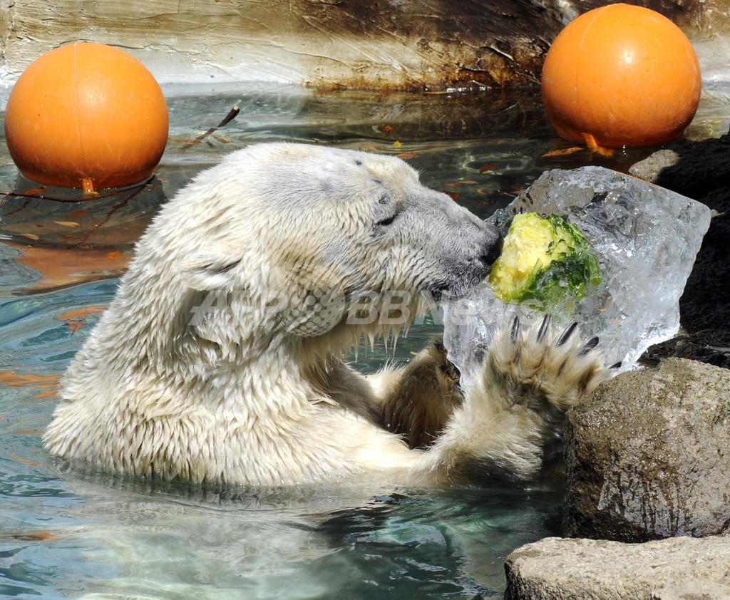 ホッキョクグマにひえひえ野菜プレゼント、上野動物園