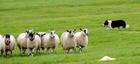 群れの心理、牧羊犬の羊追いの規則を解明 研究