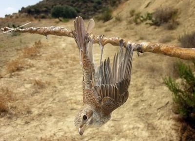 キプロスの野鳥の密猟、2016年は230万羽 史上最悪の水準