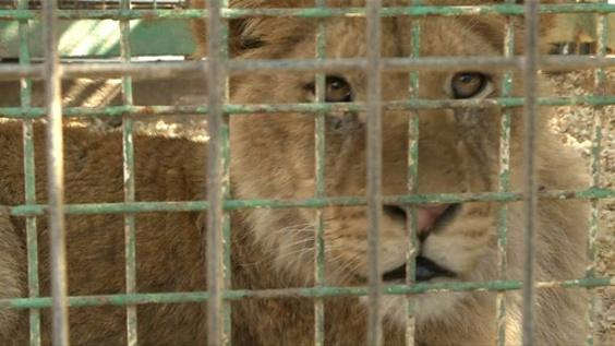 動画:ライオンと触れ合えるガザ地区の動物園 爪を除去する行為に非難も