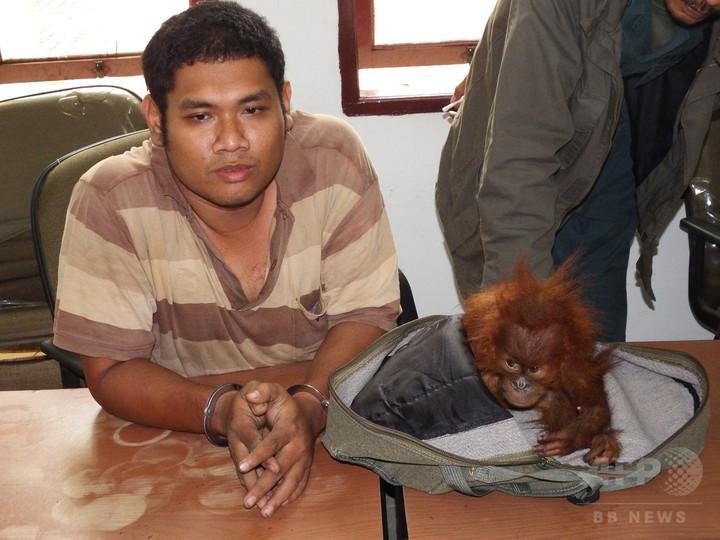 オランウータン密売業者に禁錮2年、インドネシアでは異例の判決