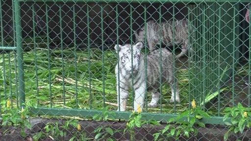 動画:希少なホワイトタイガーの赤ちゃん仲間入り ニカラグア