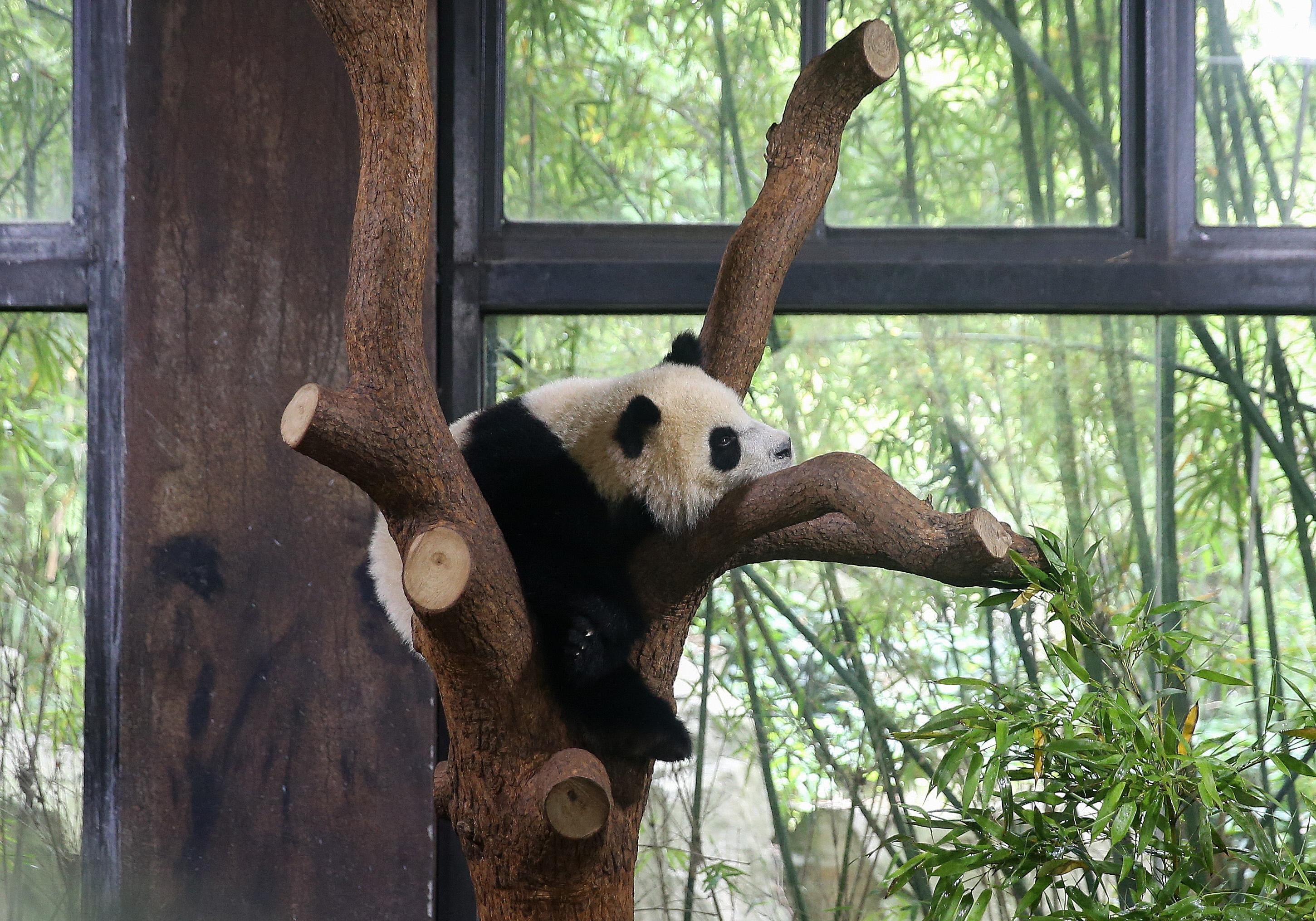 七七(チーチー)って呼んでね…赤ちゃんパンダに正式命名 上海