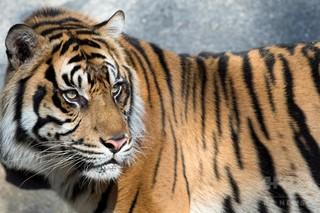 スマトラトラ、森林伐採で絶滅危機に 研究
