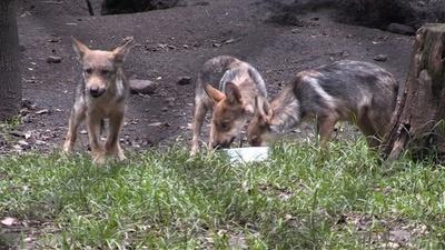 動画:オオカミの赤ちゃん8匹、新しいすみかで散策 メキシコ動物園