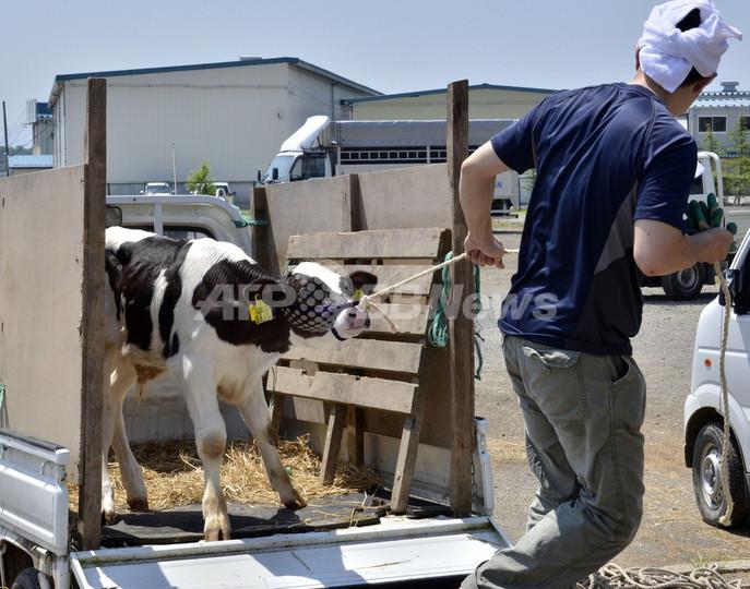 汚染わら食べた牛の肉、36の都道府県に流通