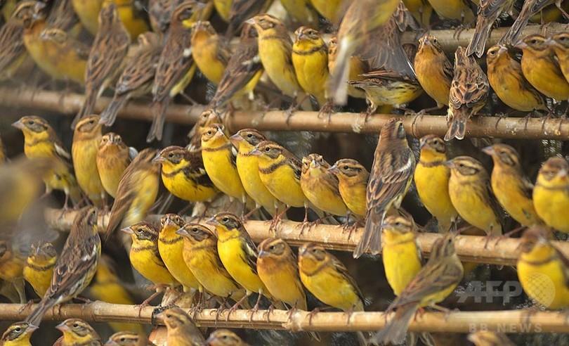 シマアオジ、「中国の食習慣」で絶滅の危機に 論文