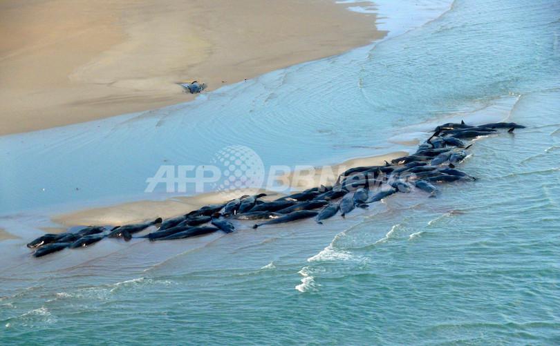 座礁のマッコウクジラ50頭、生き残りは1頭に 豪州