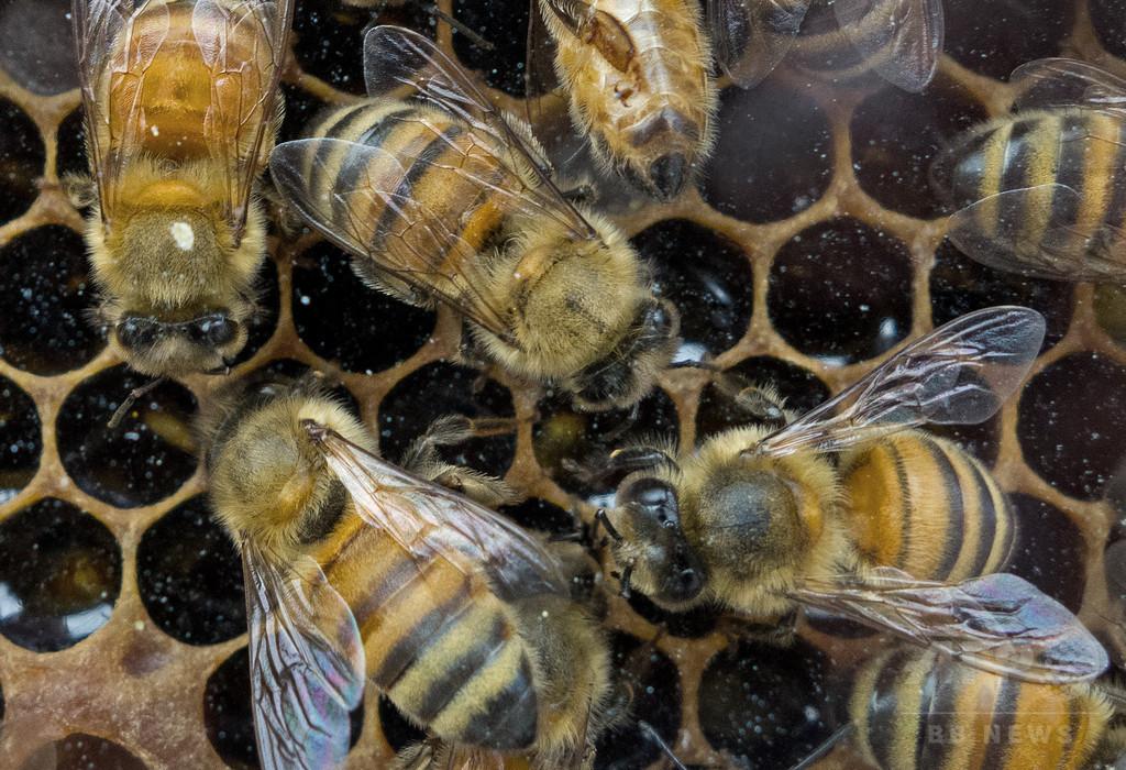 捜索中に「痛い」反撃…ブラジル警官7人、ハチに襲われ搬送