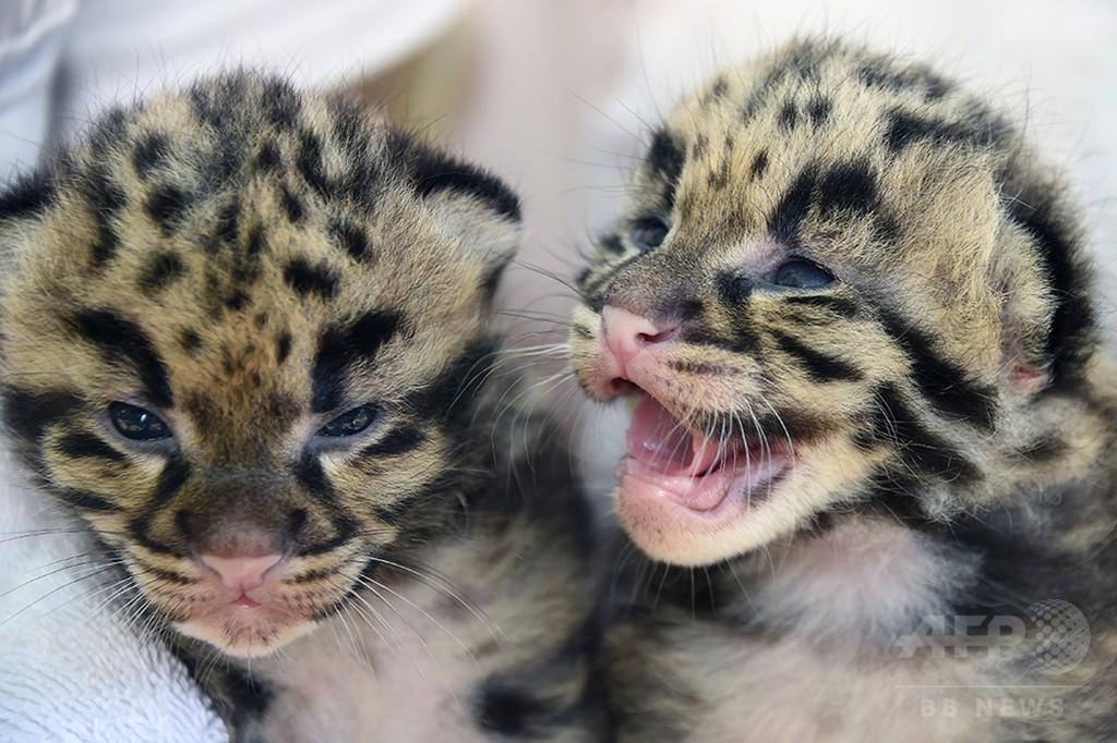 危急種ウンピョウの赤ちゃん、米マイアミの動物園で2匹誕生