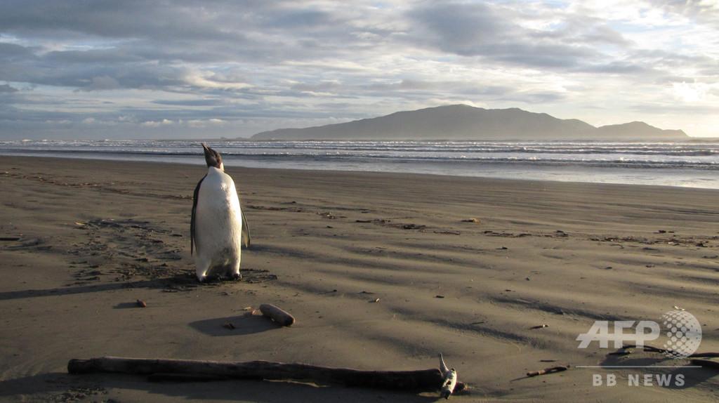 コウテイペンギン繁殖地、衛星活用し新たに11か所発見