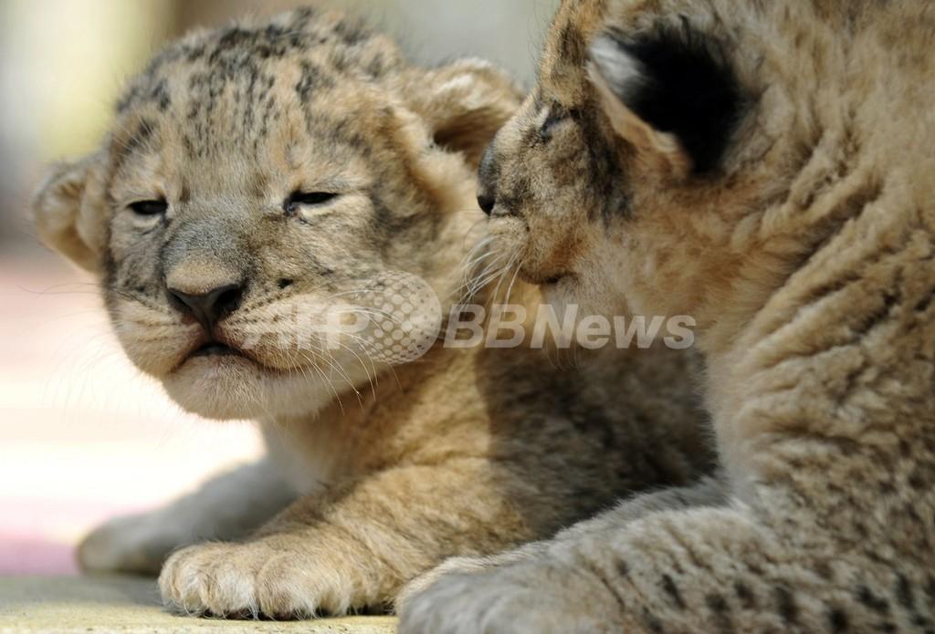 生後1週間のライオンの赤ちゃん、ロシア動物園で一般公開