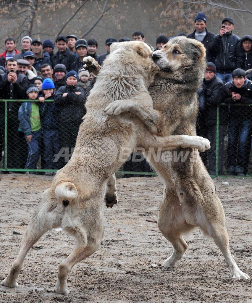 野生の本能むき出し、キルギスの闘犬大会