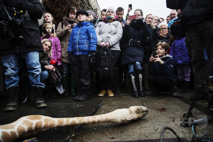 デンマークの動物園、今度はライオンの公開解剖を計画