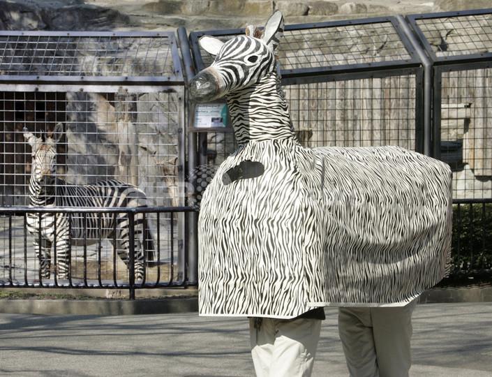 上野動物園、「シマウマ脱走」に備えて捕獲訓練を実施