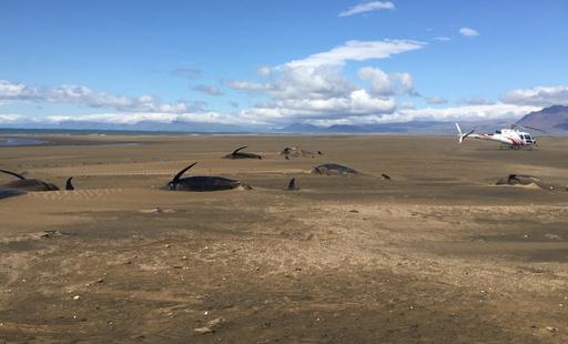 また謎のクジラ大量打ち上げ、20頭死ぬ アイスランド