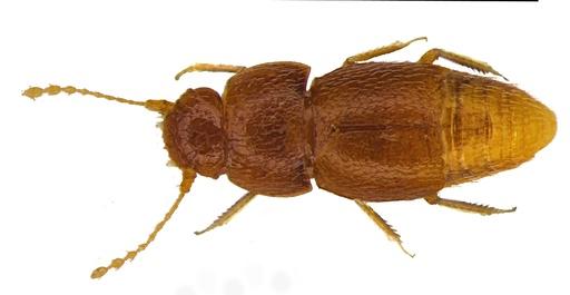 新種の甲虫、グレタさんにちなみ命名 英自然史博物館