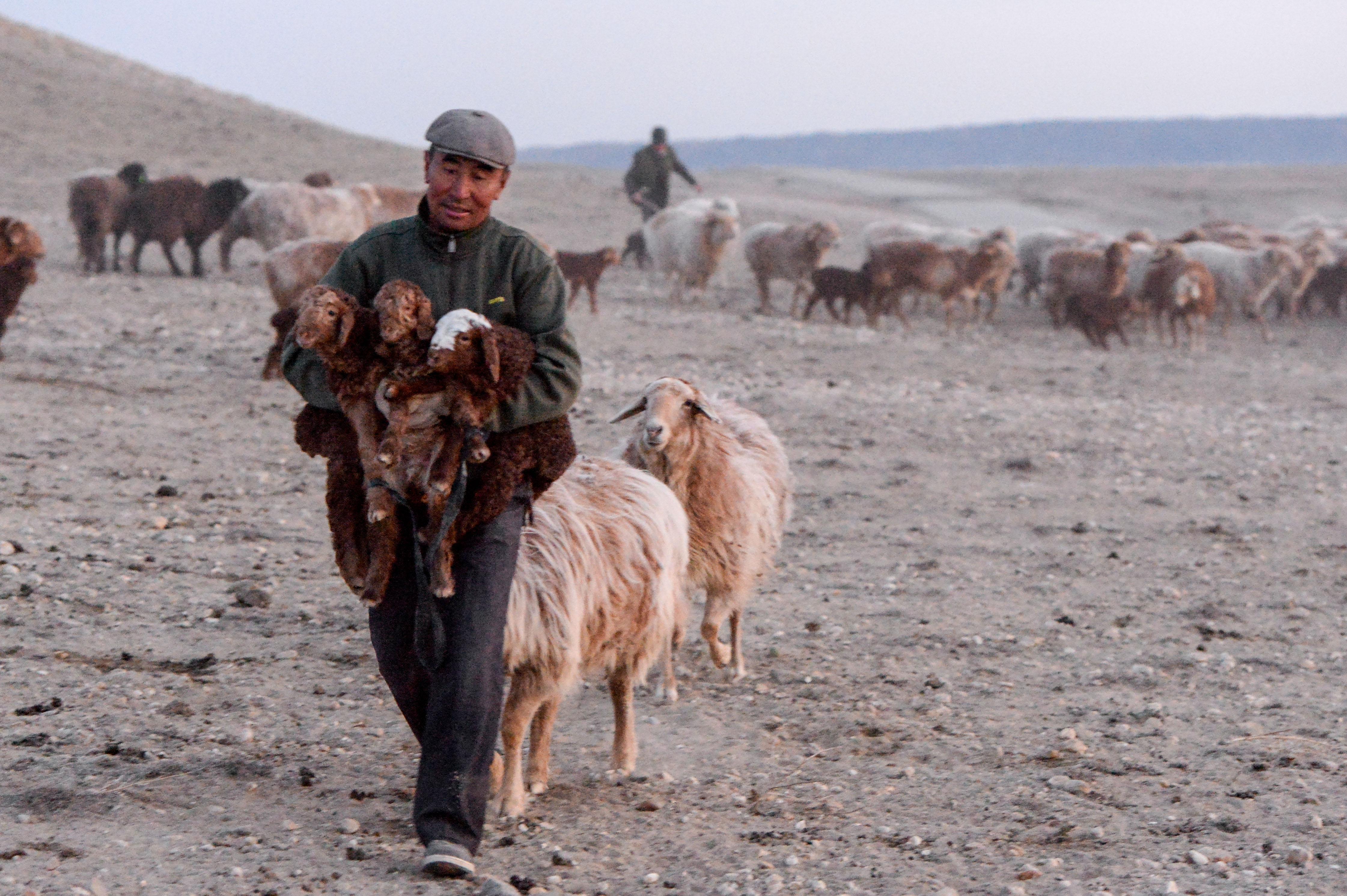 環境管理の単位は「羊」、牧畜民の春の大移動 中国・新疆