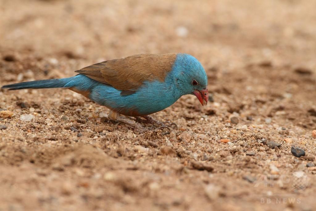 小鳥の「高速タップダンス」求愛行動、雌雄で初観察 研究