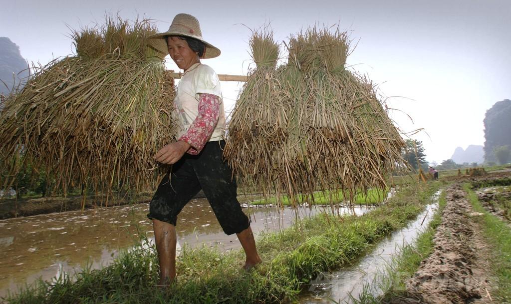 文化の違いは栽培する穀物が影響?研究