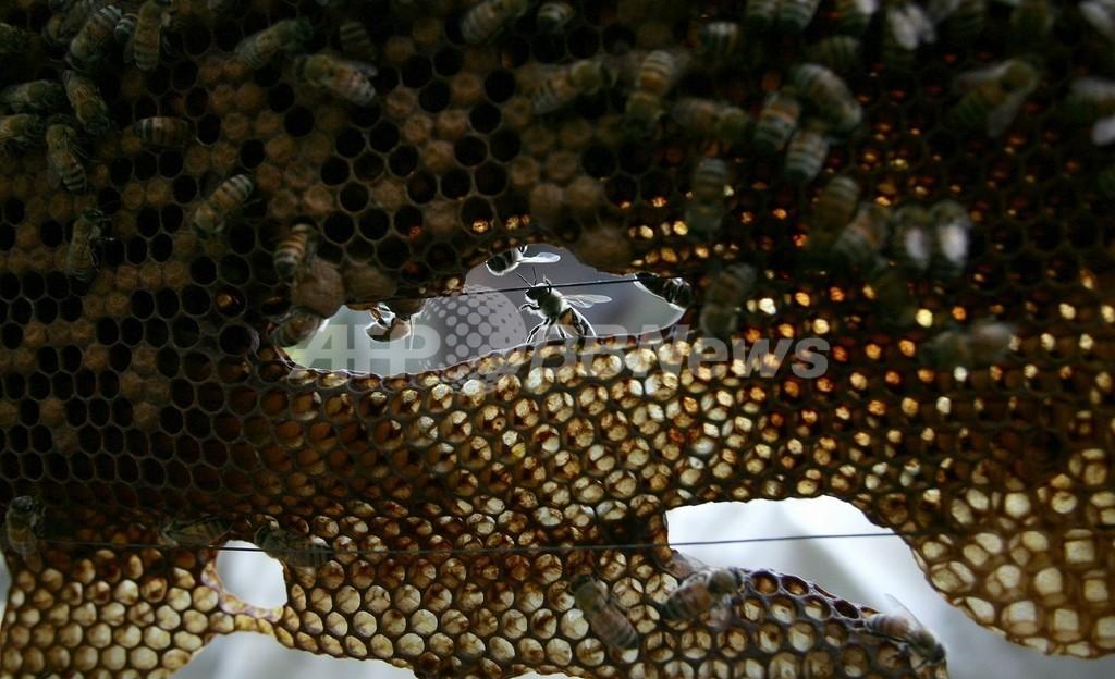 健康なミツバチから新種のウイルスを発見、大量死の謎解明に期待