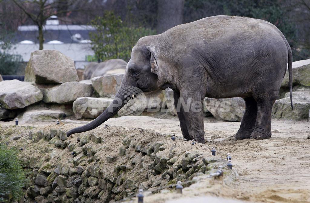 オランダの動物園で仁義なき権力闘争、ゾウ4頭の引き取り先を探す