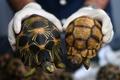 絶滅危惧種のリクガメ330匹押収、約3000万円相当 マレーシア