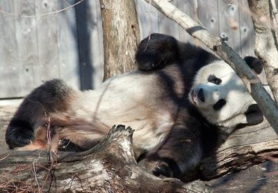 オジサン系パンダ?春うらら、米首都の動物園