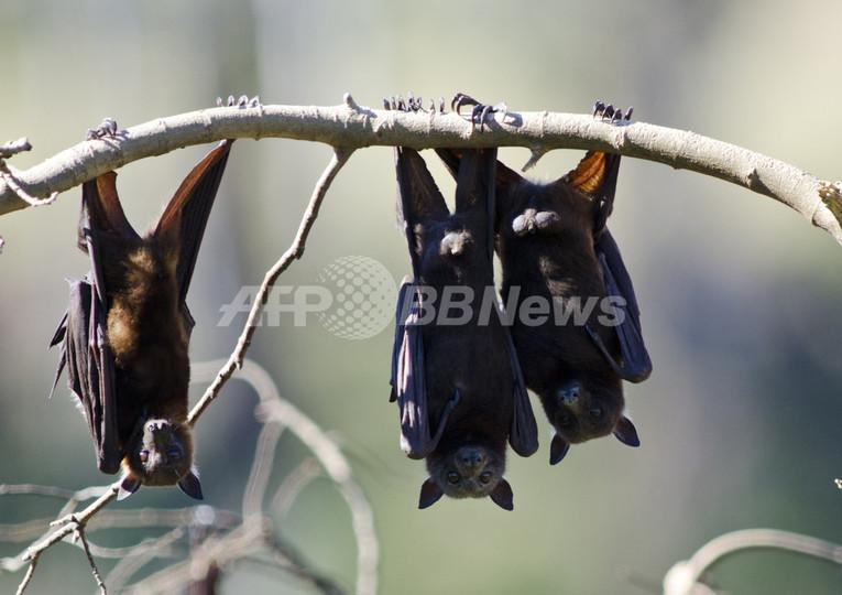 アフリカのコウモリが運ぶウイルス2種に、人への感染リスク