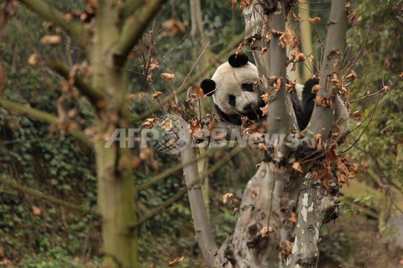 パンダ6頭、野生に戻る訓練スタート 中国・成都