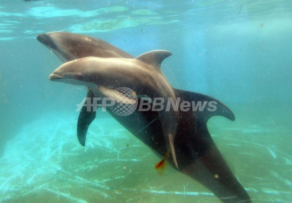 カマイルカの赤ちゃんが誕生、八景島シーパラダイス