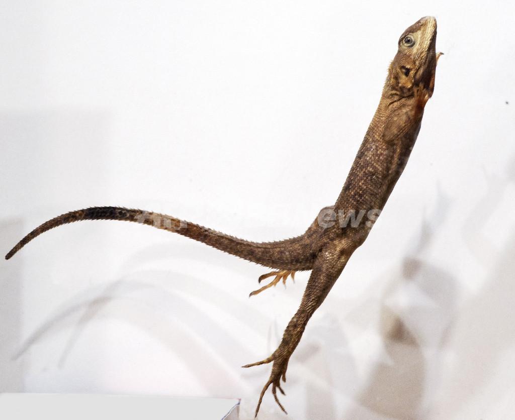 トカゲは尻尾の角度を変えてスムーズに着地、米研究
