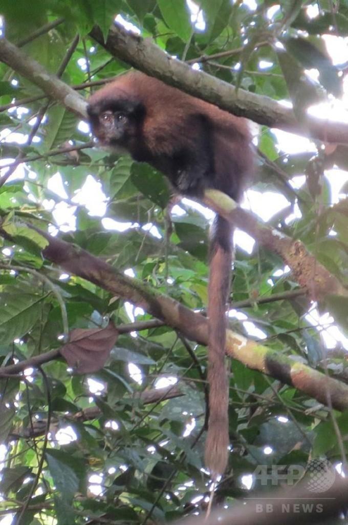新種のティティモンキー、ペルーで発見