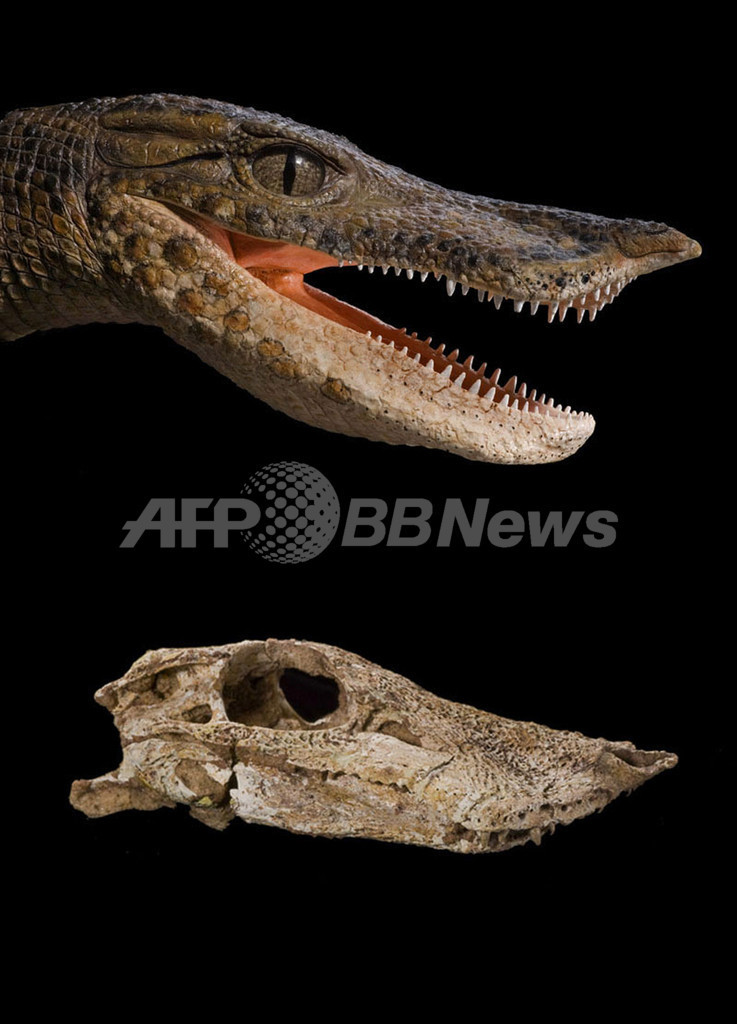 サハラ砂漠で未知の古代ワニ化石を発見、イノシシやネズミに外見似ていた?