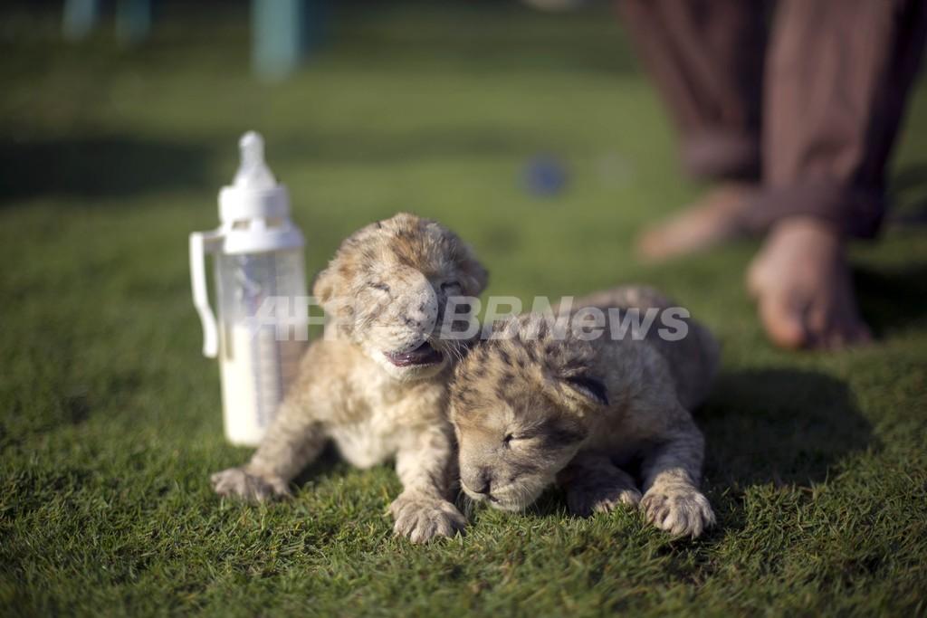 ガザ地区で誕生したライオンの双子の赤ちゃん死ぬ