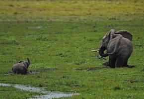 アフリカゾウの密猟被害、出生数を上回る 研究