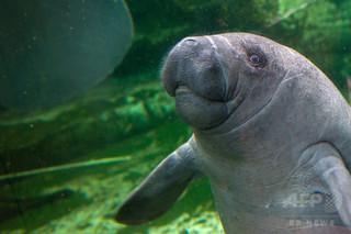 フランスの動物園でマナティーが溺死